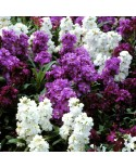 Stocks - Matthiola Incana Double Mix