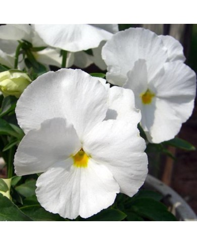 Pansy Swiss Giant White