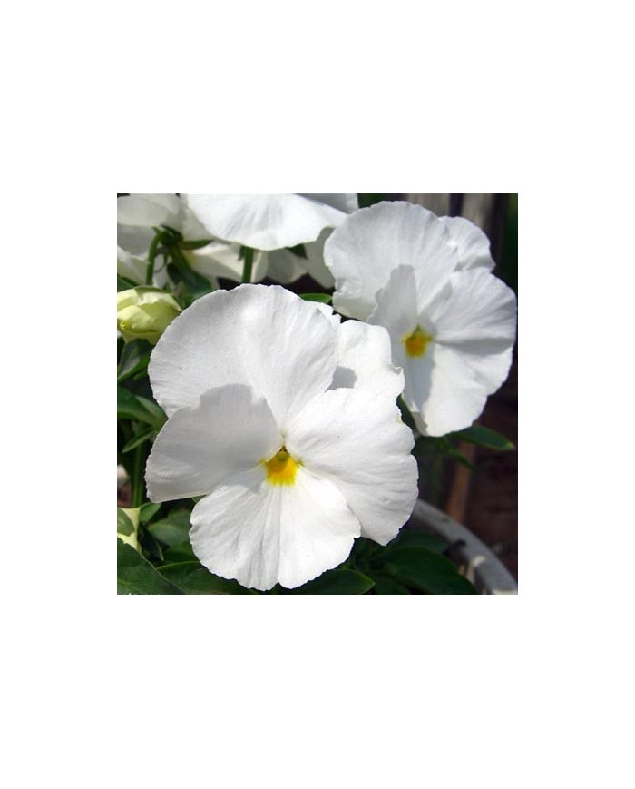 Pansy Swiss Giant White with Blotch Seeds