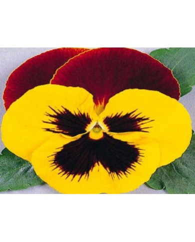 Pansy Swiss Giant yellow with red Seeds