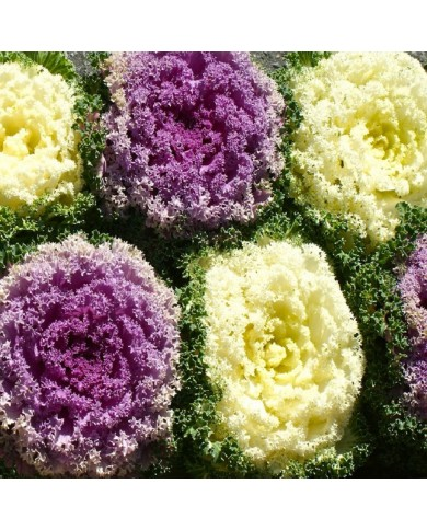 Ornamental kale mix seeds