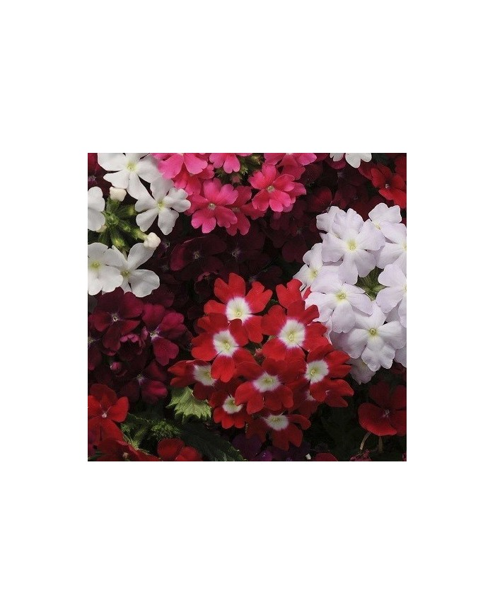 Verbena Ideal Florist Mix Seeds