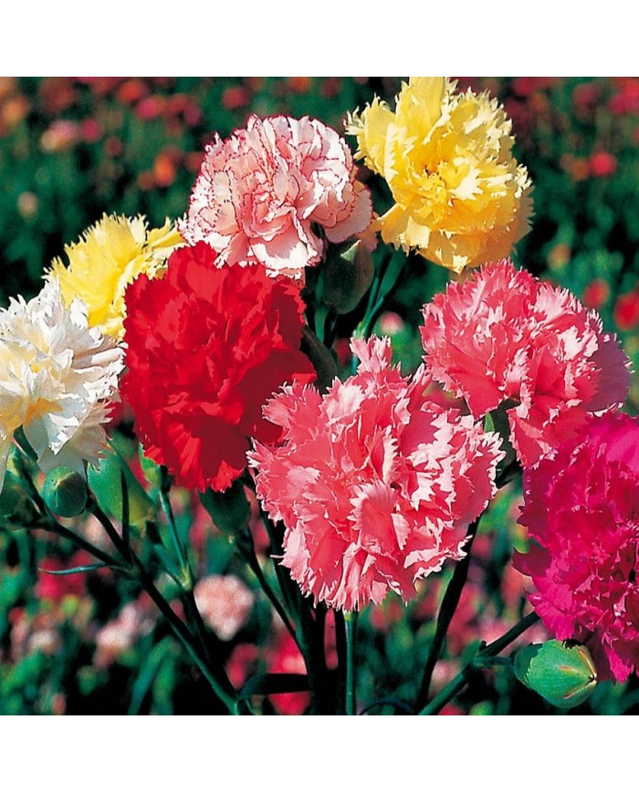 Carnation Chaubad Mix seeds