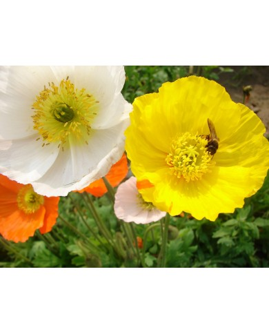 Iceland Poppy mix seeds