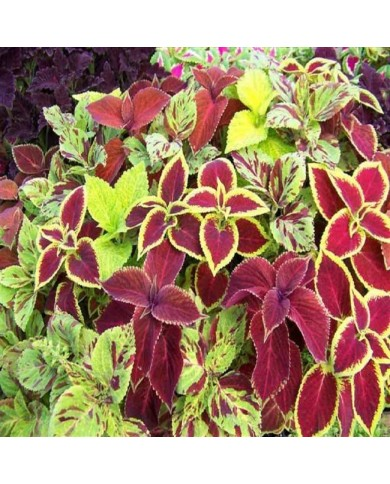 Coleus Rainbow Mixed