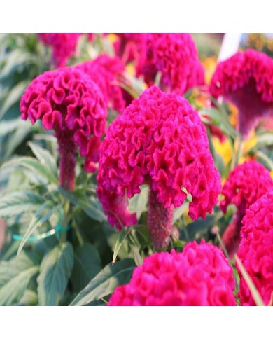 Celosia cristata Cock's Comb Mix Seeds
