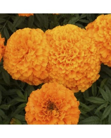 African Marigold mix seeds
