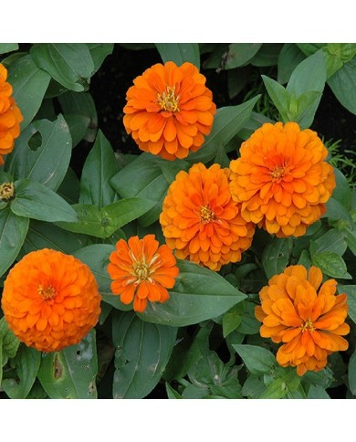 Zinnia Orange seeds
