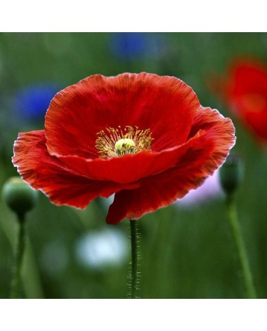 Indian Shirley Poppy Mix Seeds