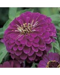 Zinnia Royal Purple Seeds