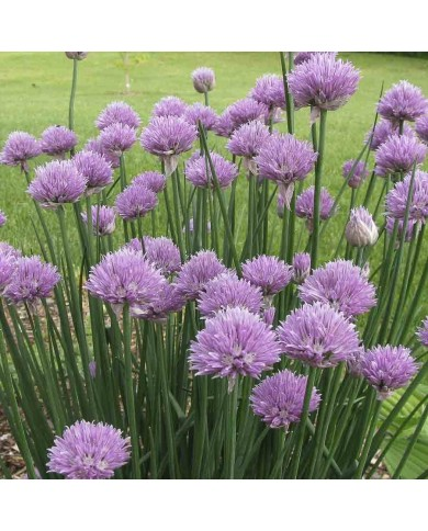 Chives Seeds