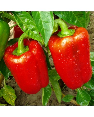 Capsicum Red Seeds