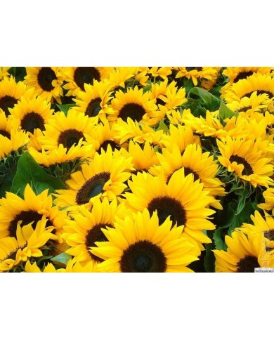 Sunflower Helianthus Annuus seeds