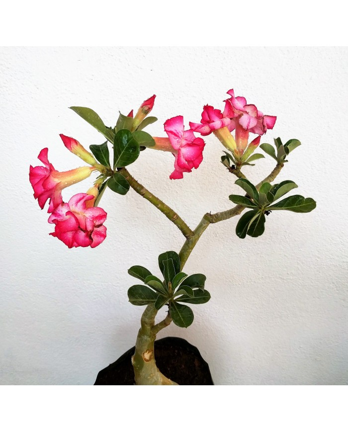Adenium Double Shade flowering Plant - Bangalore Delivery Only