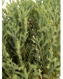 Oriental arborvitae (Morpankhi) Plant - Bangalore Delivery Only