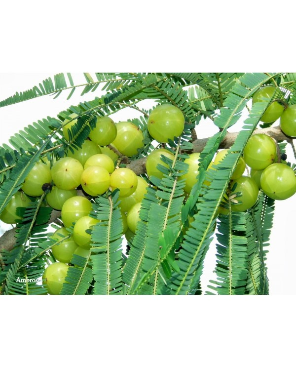 Indian Gooseberry Seeds