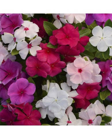 Pan American Vinca Pacifica XP Series seeds
