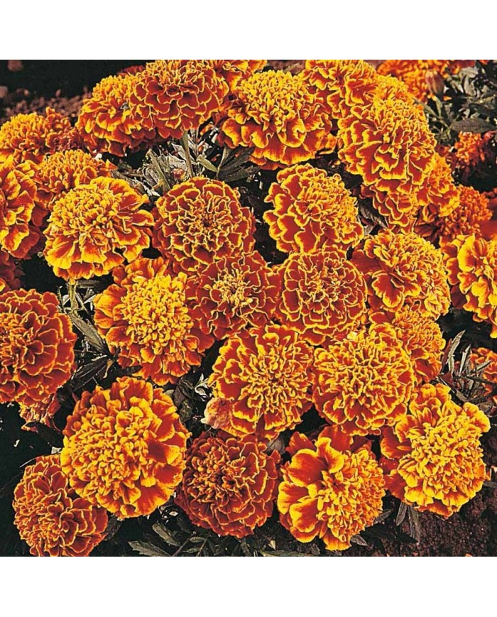 Pan American French Marigold honeycomb mix seeds