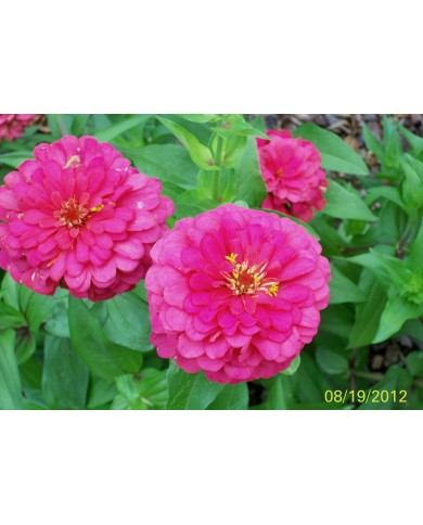 Zinnia Illumination Deep Rose Seeds