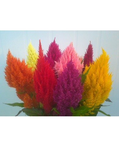 Celosia Ice-Cream Mix Hybrid Seeds
