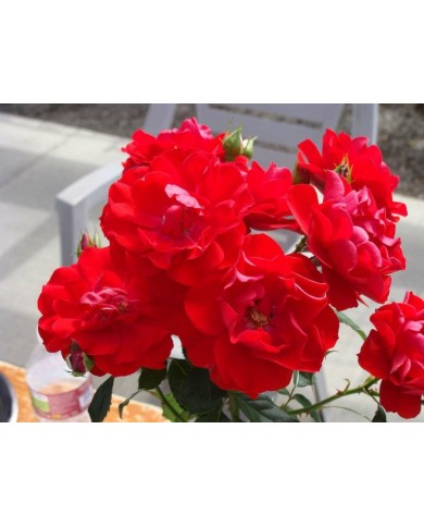Rose Red Pinnacle Plant Bangalore Delivery