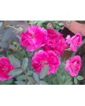 Pink Rose Plant Bangalore Delivery
