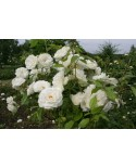 WHITE ROSE PLANT BANGALORE DELIVERY