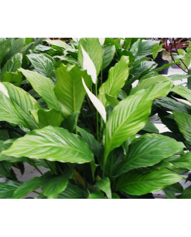 Spathi Phyllum Plants Online- Bangalore Delivery Only