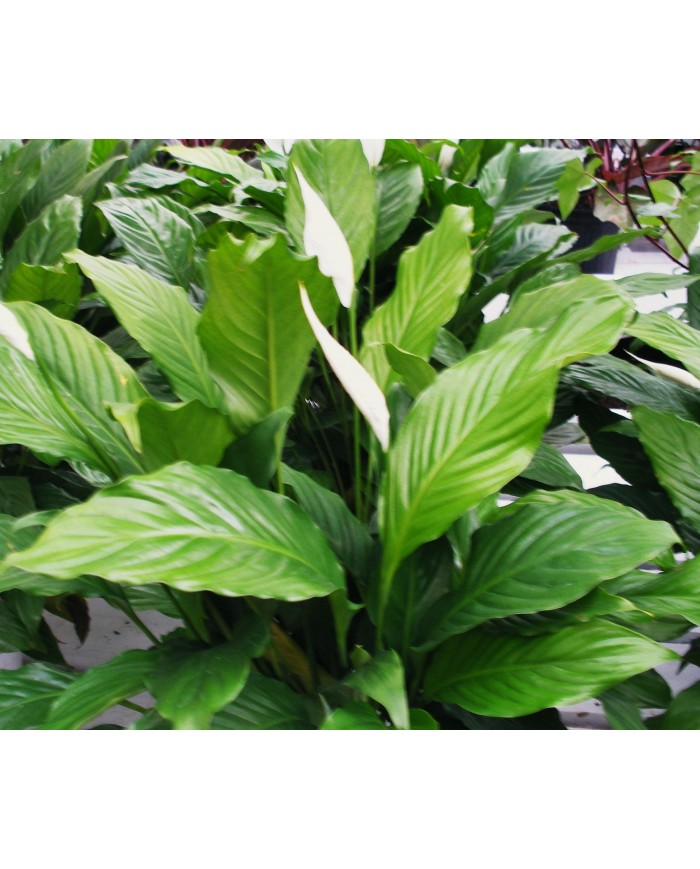 SpathiPhyllum Plant Bangalore Delivery