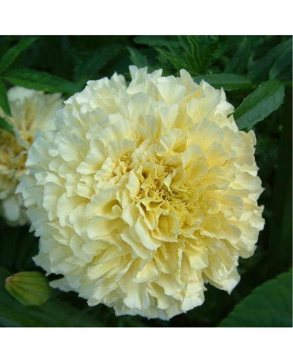 Marigold African F2 White