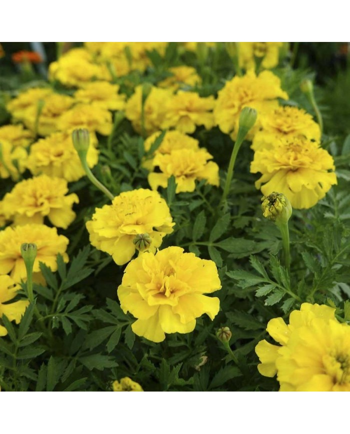 French Marigold Yellow Seeds
