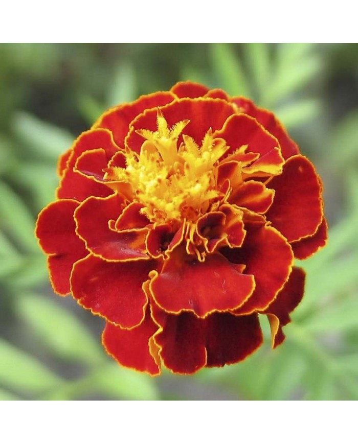 French Marigold Scarlet Red seeds