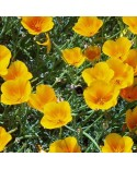 California Poppy Mix Seeds