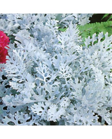 Cineraria Silver Dust Seeds