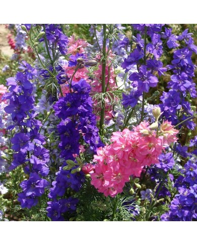 Larkspur mix seeds