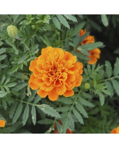 marigold French Gulzafri Orange seeds