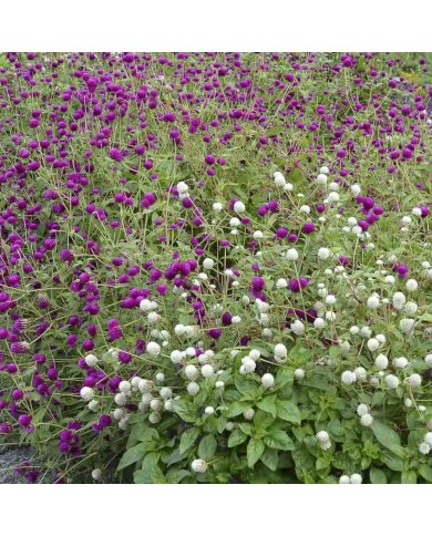 Gomphrena Choice Mixed Seeds