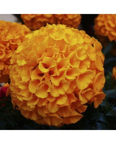 African Marigold F2 Dwarf Orange