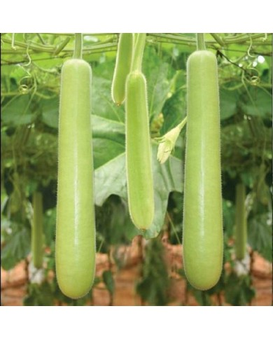 Bottle Gourd Long Seeds