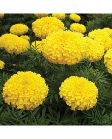 African Marigold F2 Dwarf Yellow Seeds