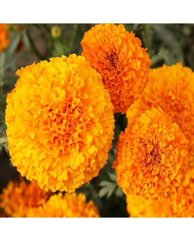 Marigold African Hawaii orange seeds